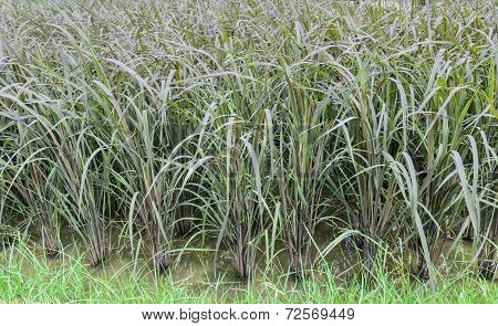 Black Glutinous Rice Plantation