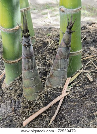 Bamboo Shoots Or Bamboo Sprouts