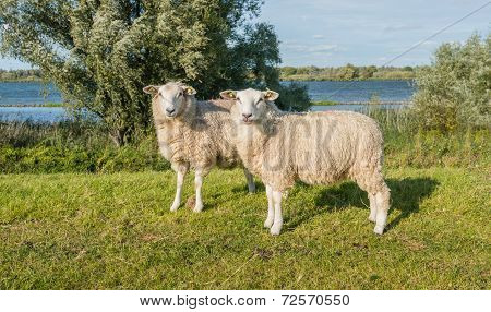 Two Earmarked Sheep On A Sunny Day At The End Of The Summer Season