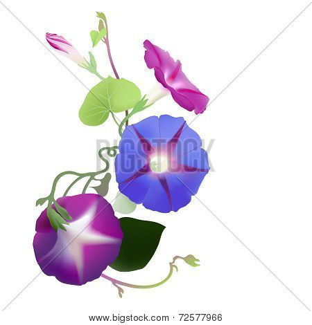 Morning Glory vine in bloom (Ipomoea purpurea)