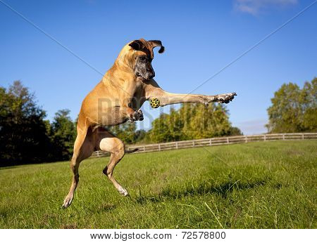 Great Dane attempting to catch yellow ball frozen in mid air