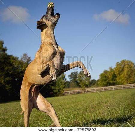 Great Dane on hind legs tryingf to catch yellow ball on tip of nose