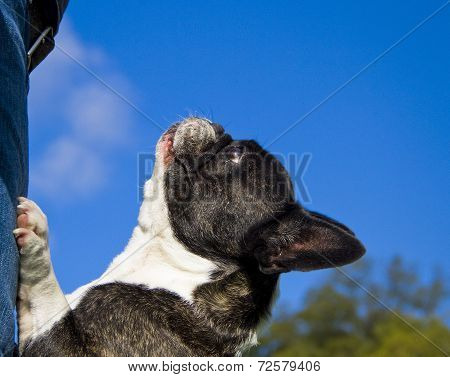 French bulldog looking up with blue sky
