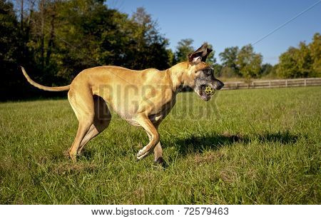 Great Dane with yellow ball in mouth