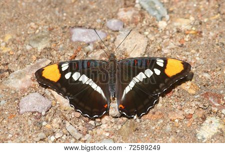 Arizona Sister (adelpha Eulalia) Butterfly