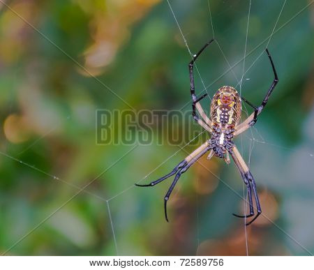 Giant Golden Silk Orb Weaver Spider