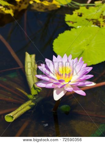 Pink Water Lily.