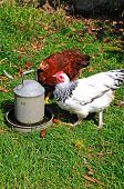 stock photo of bantams  - Two free range Light Sussex Bantams drinking water from a tin container England UK - JPG