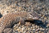image of monitor lizard  - Ridge - JPG
