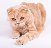 picture of scottish-fold  - Scottish fold cat lying on the white background and playing - JPG