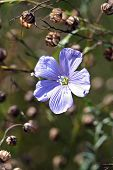 pic of lint  - Linum perenne (perennial flax blue flax or lint)