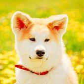 foto of akita-inu  - Akita Dog  - JPG