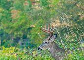 image of deer rack  - Whitetail Deer Buck standing in a woods - JPG