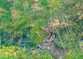 image of buck  - Whitetail Deer Buck standing in a woods - JPG