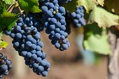 stock photo of shiraz  - Malbec is the flagship strain of Argentina - JPG