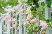 stock photo of confederation  - Pink Confederate vine blooming in the garden - JPG