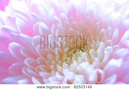 Close Up Image of the Beautiful Pink Chrysanthemum Flower. Floral Background