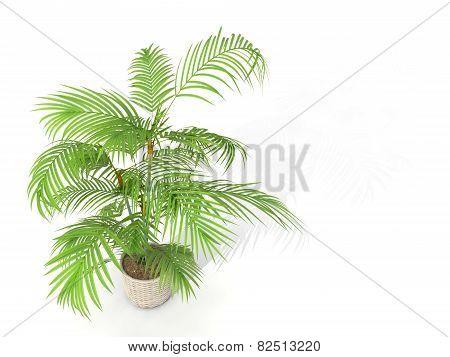 Fernleaf Hedge Bamboo,