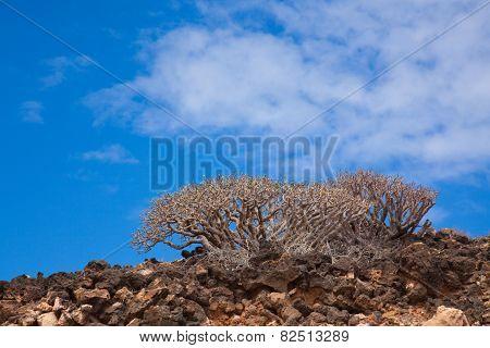 Natural Background With  Euphorbia Balsamifera, Tabaiba Dulce, Native To Canary Islands