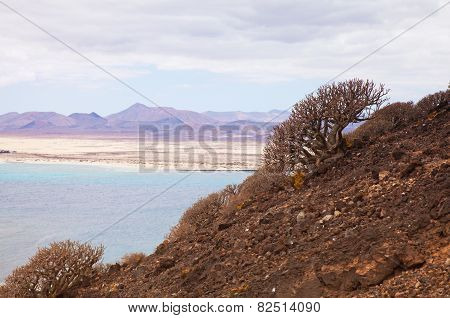 Canary Islands, Euphorbia Balsamifera; (tabaiba Dulce) And Lichen Grown On The Slopes Of Volcano Of