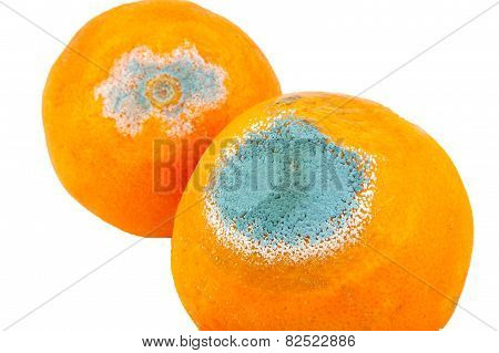Closeup of two moldy and rotten oranges isolated on white background
