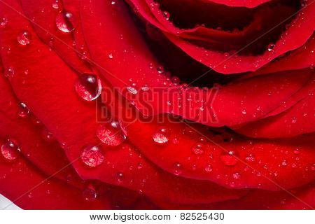 red rose bud close up macro shot with water drops isolated on white