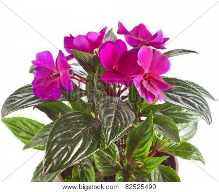 Impatiens flower in a pot isolated on white