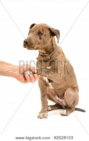 Pit bull puppy gives paw