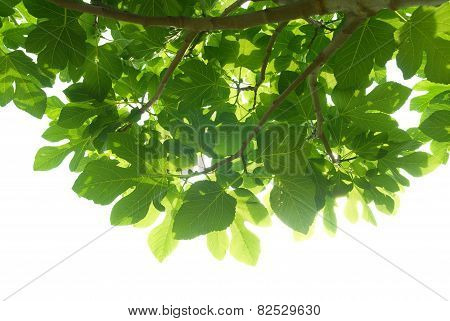 Green Fig-tree Leaves With Branch