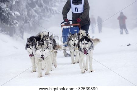 Dog-sledding with huskies