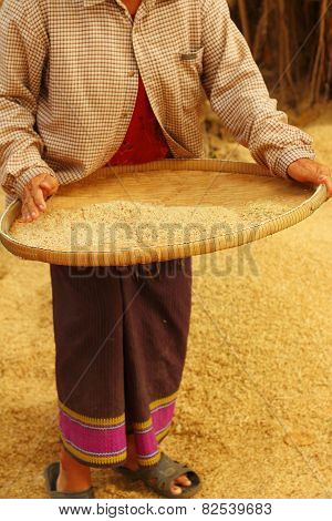 Farm Worker Is Flicks Rice In The Tray.