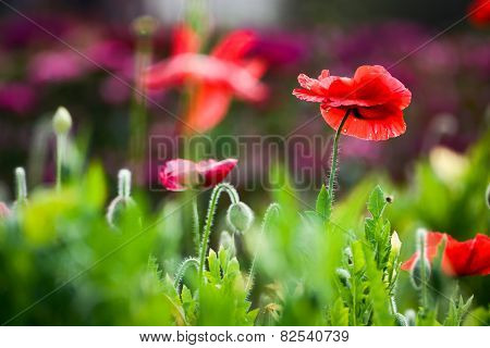 Red Opium Poppy Flower