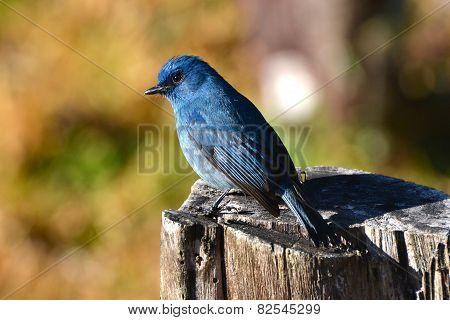 Blue Nilgiri Flycatcher