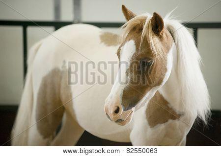American Miniature Horse Mare Portrait