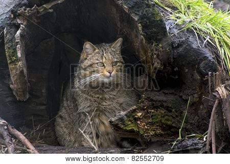 European Wild Cat (felis Silvestris)