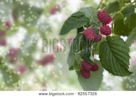 Raspberry Branch With Berries Raspberry- Stock Image .