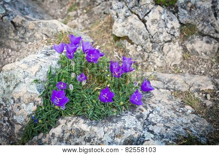 Purple Bell Flowers On Rock