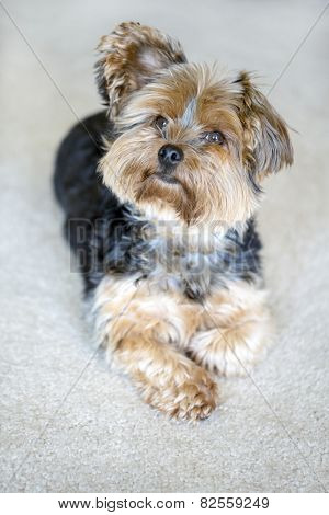 Cute little yorkshire terrier with floppy ear