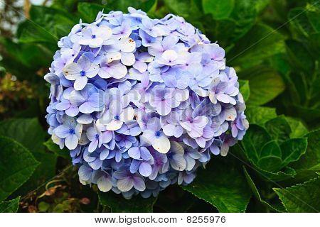Purple blue hydrangea