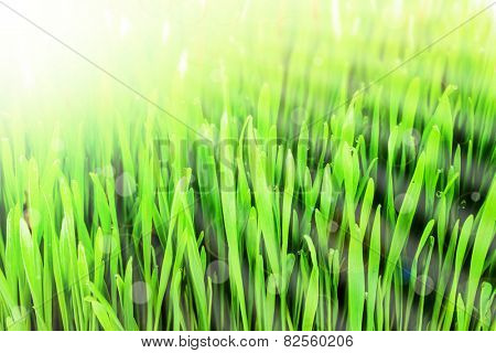 sprouts of green wheat grass on the sun background