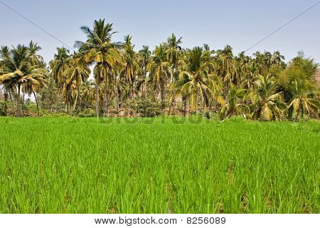 Rice field in India
