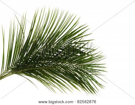 Green delicate leaf of palm tree