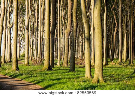 Beech tree forest with sunshine