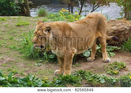 London, England - 2013 May 05 - Lovely lioness at the zoo