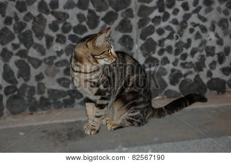 Brindle Gray Cat