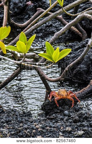Sally Lightfoot Crab Ore Red Cliff Crab From Galapagos Islands, Ecuador