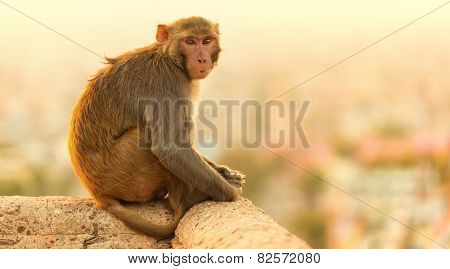 Macaque Monkey At Sunset Monkey Temple, Jaipur.