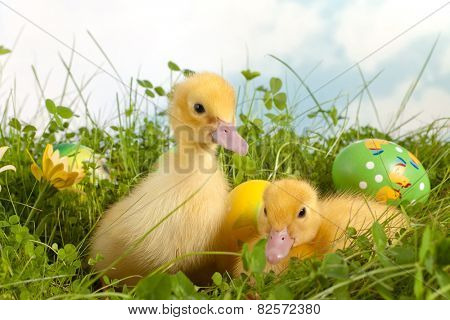 Two adorable yellow easter ducklings in grass with colorful easter eggs