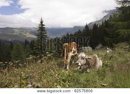 Brown And A White Cow In The High Grass