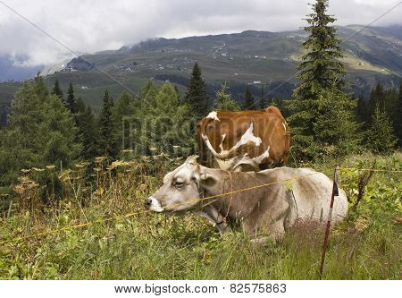 A Brown And A White Cow